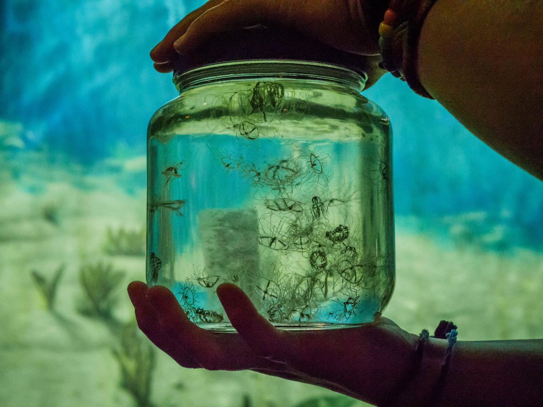 A jar full of clinging jellyfis