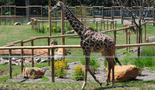 Picture of giraffes in a zoo.