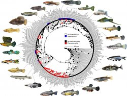 Reconstruction of fish ancestries based on DNA, with and without placentas