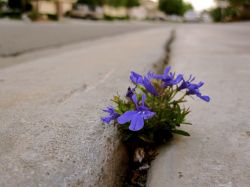 purple flower in the cracks