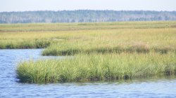 Spartina Marsh in the Barnegat Bay