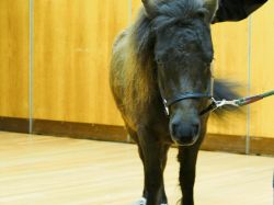 Dark brown miniature horse,