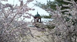 Photo of the campus belltower in spring and trees in bloom with pink flowers.