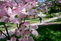 photo of pink blooming tree and student walking
