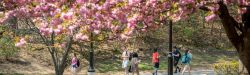 Students walking under blooming trees