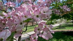 Phone of campus during the spring with flowering trees.
