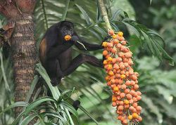 howler monkey eating fruit in a tree