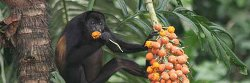howler monkey eating in a tree