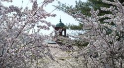 Image of the College Hall belltower as seen through tree branches with blooming spring flowers.