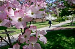 Close up photo of flower blossoms with a person walking on campus in the background.