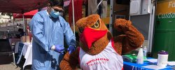Rocky the Red Hawk getting his flu shot.